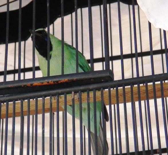 cucak hijau ciamik untuk lomba dan burung rumahan