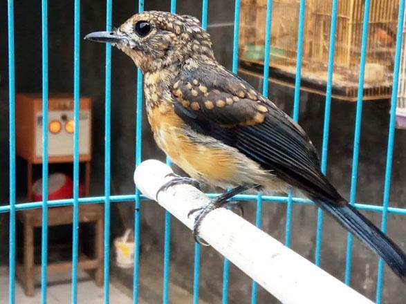 tips merawat burung berkicau sulingan atau tledekan
