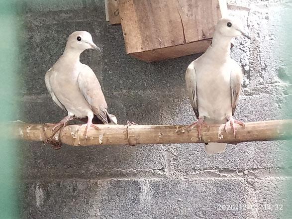 jujur sama istri kunci sukses dalam breeding burung