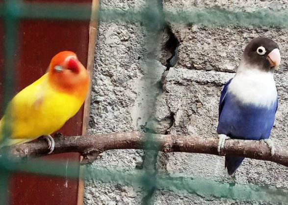 tips raih sukses usaha breeding burung love bird